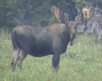 moose-30